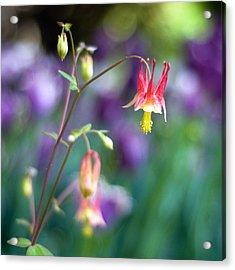 Columbine Flower Acrylic Print by Laura George