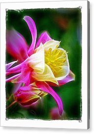 Acrylic Print featuring the photograph Columbine by Judi Bagwell