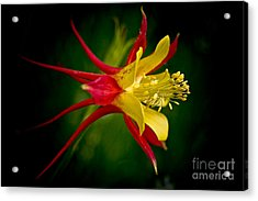 Columbine Acrylic Print by Larry Carr