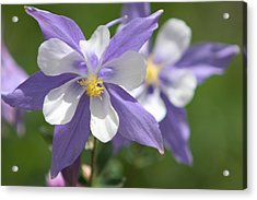 Acrylic Print featuring the photograph Columbine by Marta Alfred