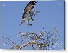 Acrylic Print featuring the photograph Coming In For A Landing by Anne Rodkin