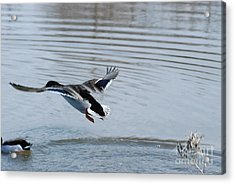 Acrylic Print featuring the photograph Coming In by Mark McReynolds