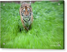 Coming To Get You Acrylic Print by Keith Kapple