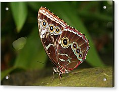 Acrylic Print featuring the photograph Common Blue Morpho by Laurel Talabere