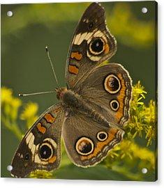 Common Buckeye Butterfly 3021 Acrylic Print