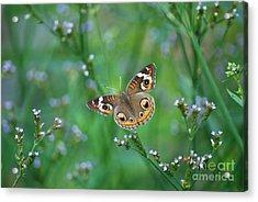 Common Buckeye Acrylic Print by Kathy Gibbons