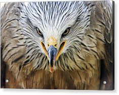 Common Buzzard Acrylic Print by Chris Hellier
