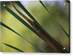 Acrylic Print featuring the photograph Common Cattail by Perla Copernik