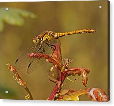 Acrylic Print featuring the photograph Common Darter 2 by Paul Scoullar