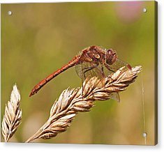 Acrylic Print featuring the photograph Common Darter by Paul Scoullar