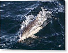 Common Dolphin Delphinus Delphis Acrylic Print by Rich Reid