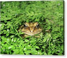Common Frog Acrylic Print by Cordelia Molloy