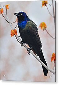 Common Grackle Acrylic Print by Tony Beck