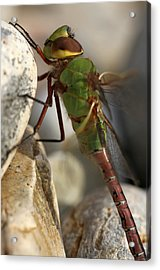 Common Green Darner Dragonfly Acrylic Print by Juergen Roth