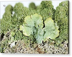 Common Greenshield Lichen Acrylic Print by Ted Kinsman