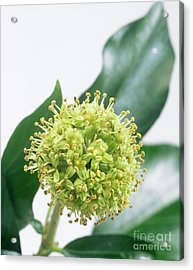 Common Ivy (hedera Helix) Flower Head Acrylic Print by Sheila Terry