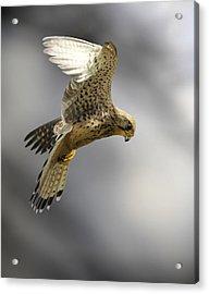 Common Kestrel Hunting Acrylic Print by Linda Wright