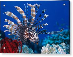 Common Lionfish Acrylic Print by Franco Banfi and Photo Researchers