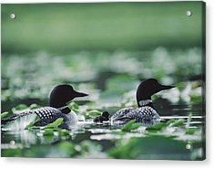 Common Loon Gavia Immer Mated Couple Acrylic Print by Michael Quinton