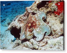Common Octopus Acrylic Print by Georgette Douwma