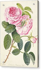 Common Provence Rose Acrylic Print by Georg Dionysius Ehret