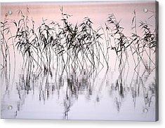 Common Reeds Acrylic Print