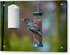 Common Starling Sturnus Vulgaris On Bird Feeder Acrylic Print by Mike Powles