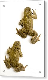 Common Toad Acrylic Print by Mark Bowler and Photo Researchers