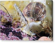 Common Whelk Acrylic Print by Alexander Semenov