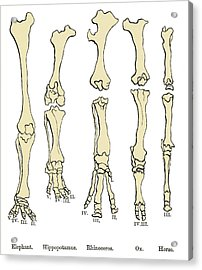 Comparison Of Animal Feet, Historical Art Acrylic Print by Sheila Terry