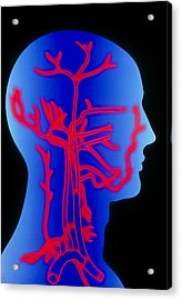 Computer Graphic Of Head & Neck, Showing Arteries Acrylic Print by Pasieka