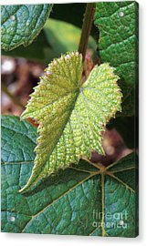 Concord Grape Plant Acrylic Print by Science Source