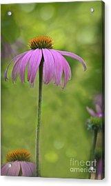 Cone Flower Heaven Acrylic Print