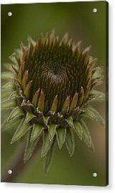 Cone Flower Studies 2012 - 3 Acrylic Print