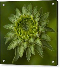 Cone Flower Studies 2012 - 4 Acrylic Print