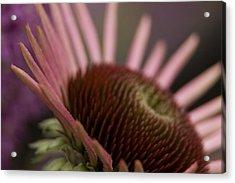 Cone Flower Studies 2012 Acrylic Print