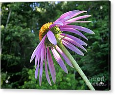 Acrylic Print featuring the photograph Cone Flower Sunrise by Nava Thompson
