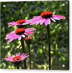 Coneflower Echinacea Purpurea Acrylic Print