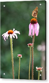 Coneflowers And Butterfly Acrylic Print