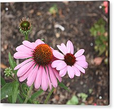 Acrylic Print featuring the photograph Coneflowers Nb by Susan Alvaro