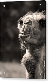 Connoisseur Of Fine Humps Acrylic Print by Barbara  White