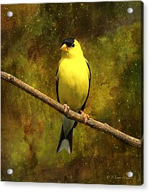 Contemplating Goldfinch Acrylic Print