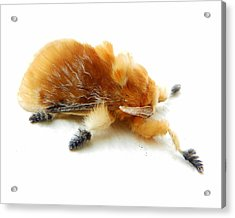 Cool Moth Acrylic Print by Chad and Stacey Hall