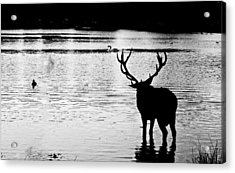 Acrylic Print featuring the photograph Cooling Off Deer by Maj Seda