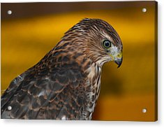 Coopers Gold Acrylic Print