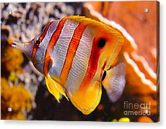 Copperband Butterfly Fish Acrylic Print by Pravine Chester