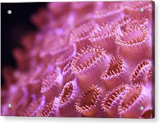 Coral Close-up II Acrylic Print by Adam Pender