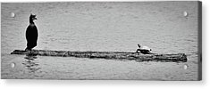 Cormorant And Turtle Acrylic Print