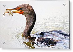 Cormorant Catching A Shrimp Acrylic Print by Paulette Thomas