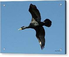 Acrylic Print featuring the photograph Cormorant In Flight by Stephen  Johnson